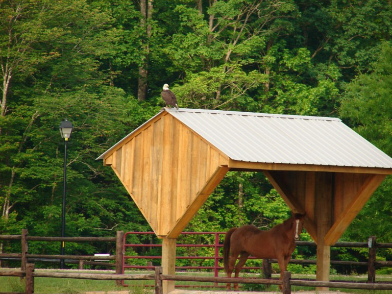 Bald Eagle at the horse shelter at Portofino